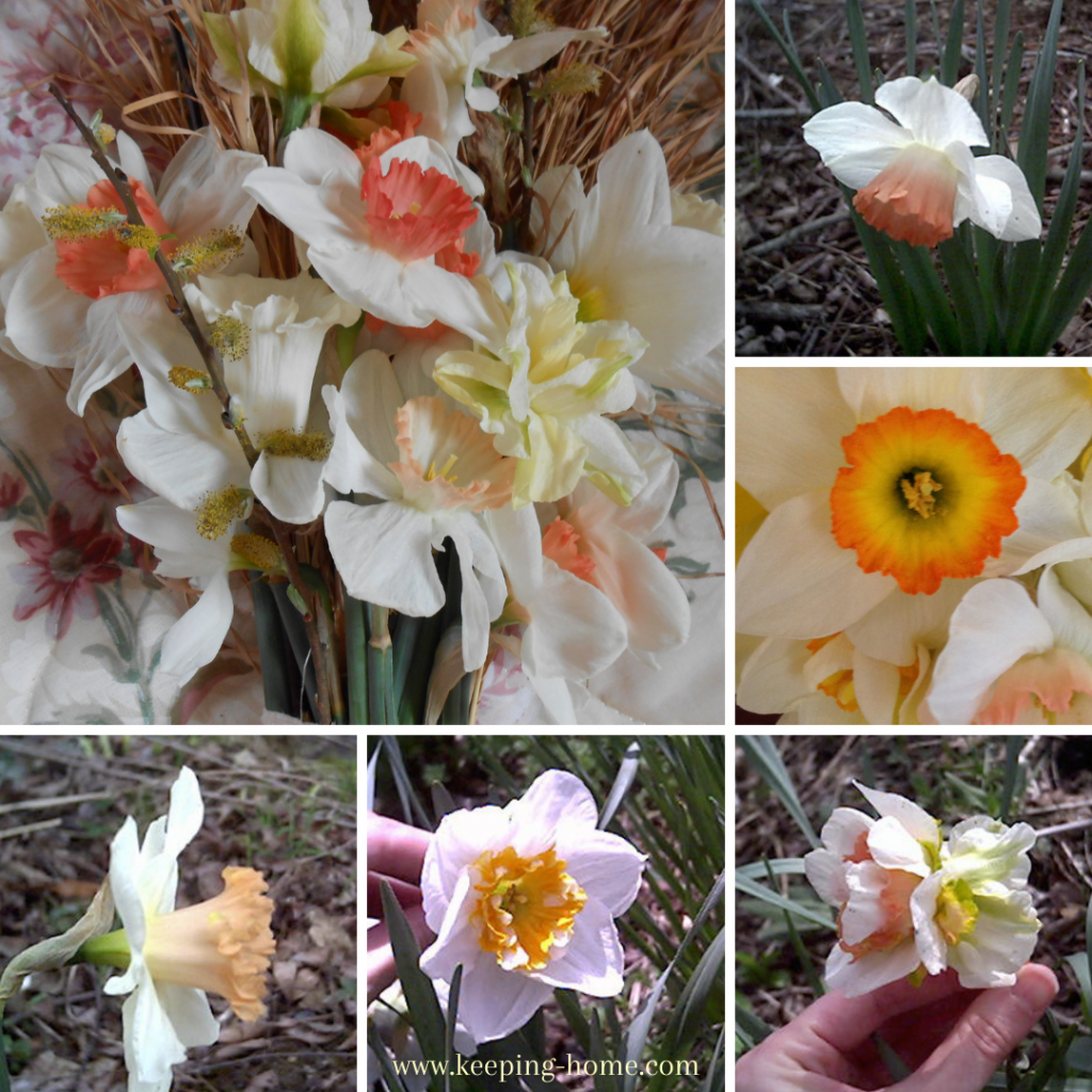 Daffodils with different color cups, including coral, peach, and orange.