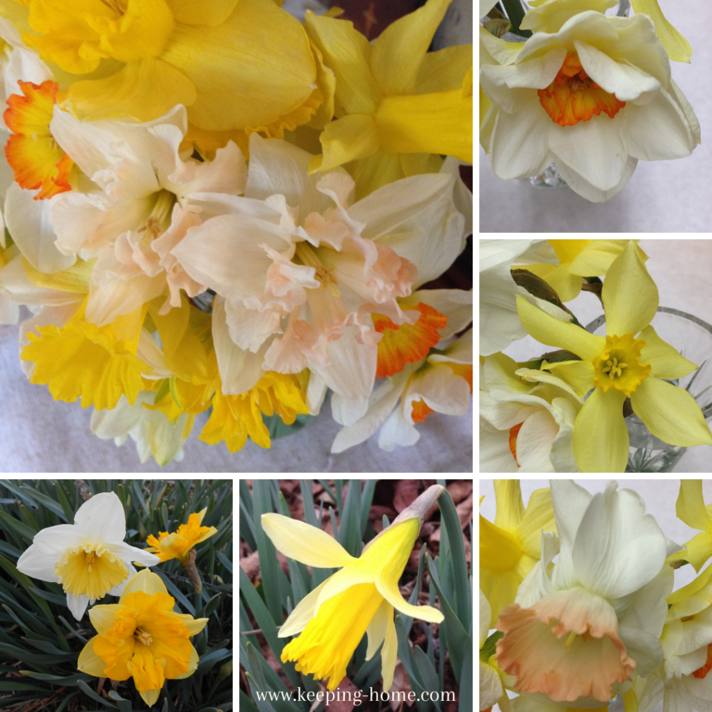 Examples of daffodils.