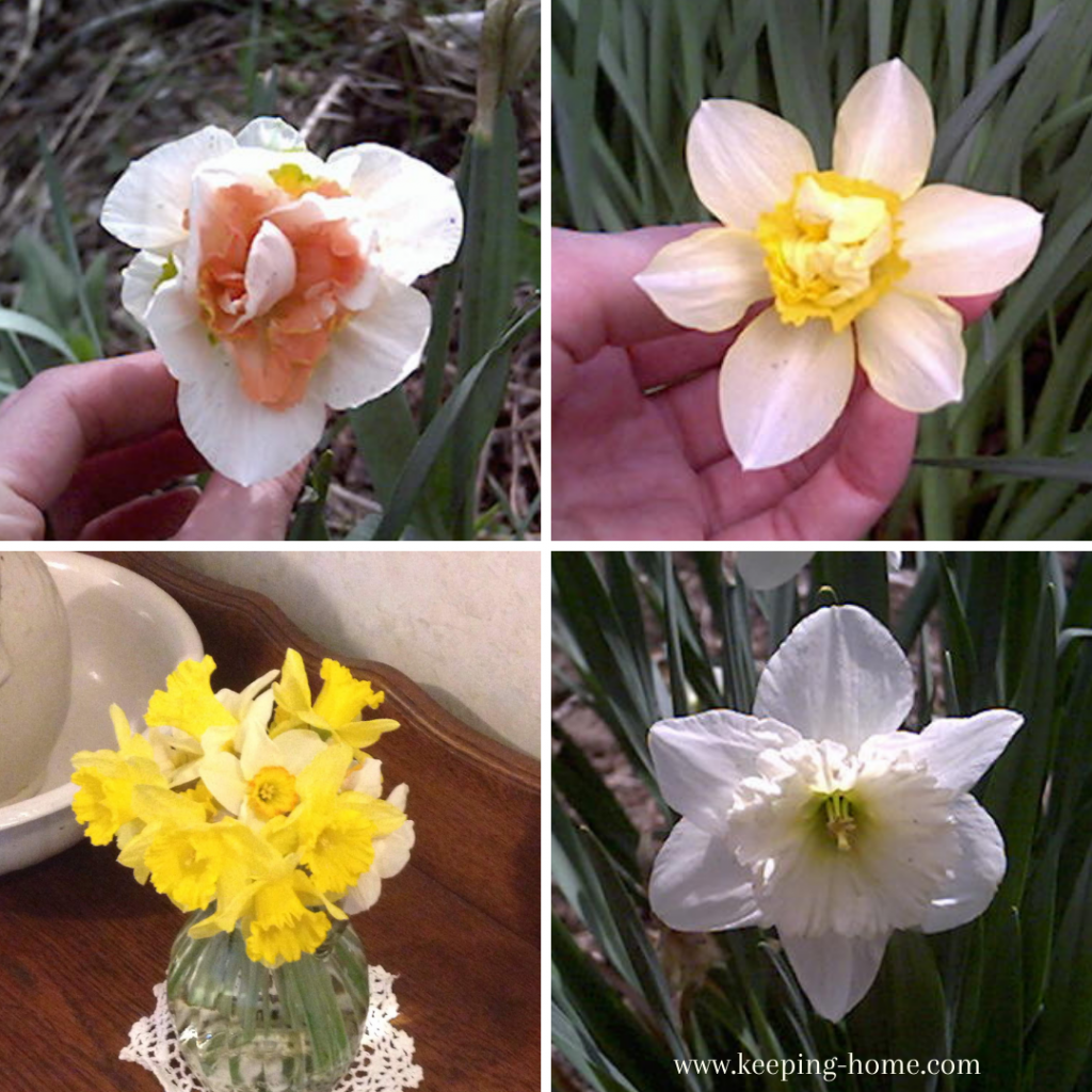 Pictures of various daffodils.